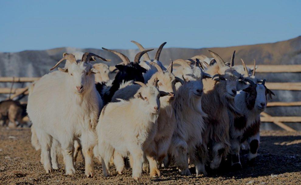 Кашемир портит окружающую среду Монголии