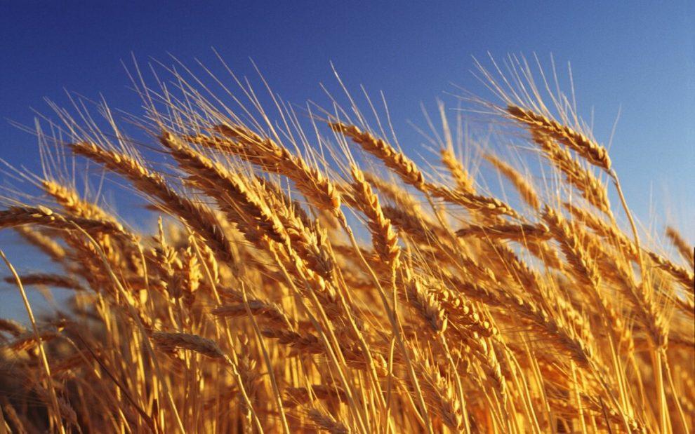 Монгольские фермеры против импорта пшеницы из России